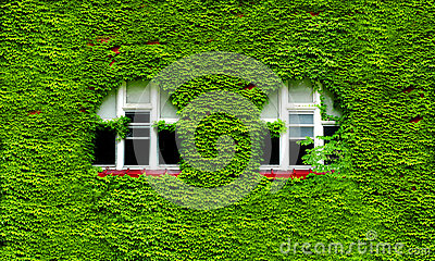 Windows and Green Ivy