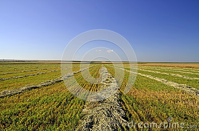 Собранная хлебоуборка в windrows