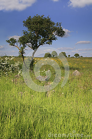 Windswept tree in a field