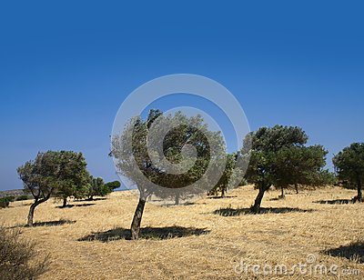 Windy olive grove