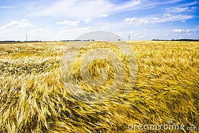 Windy rye