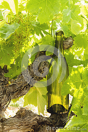 Wine bottle on a vine