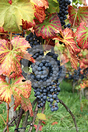 Wine grape Pinot