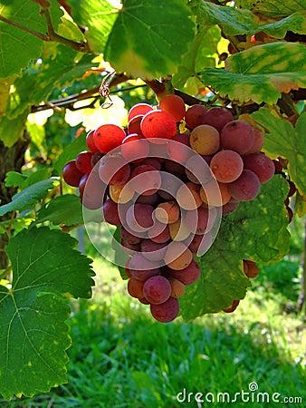 Free Wine Grapes Stock Image - 5839201