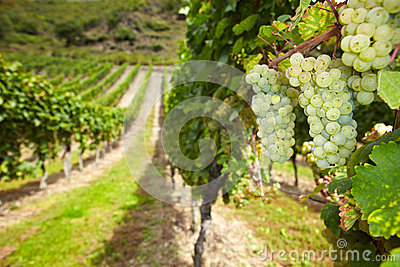 Wine grapes in German vineyard