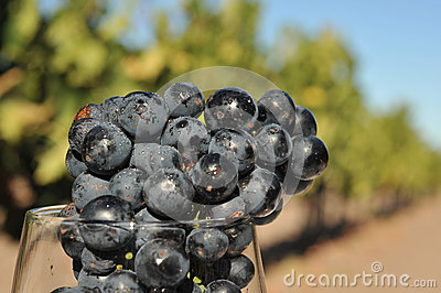 Wine grapes in a glass too early