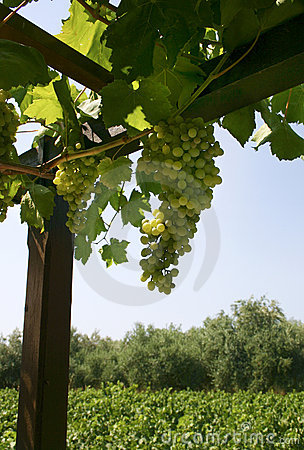Wine grapes growing
