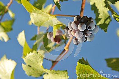 Wine grapes growing on the vine