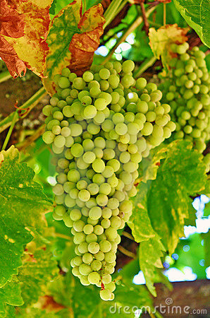 Wine Grapes Growing on the Vine in California