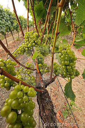 Wine grapes growing on a vine in field
