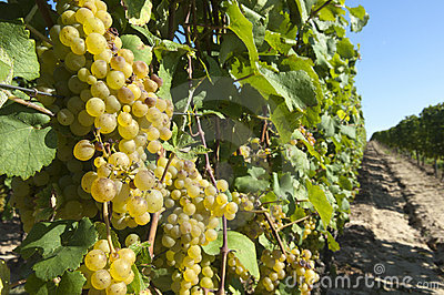 Wine grapes in harvest season