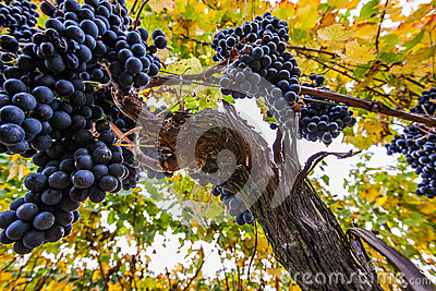 Wine Grapes II