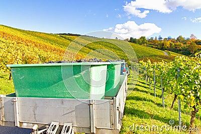 Wine harvest in autumn