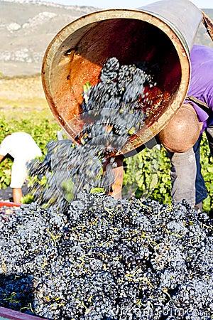 Wine harvest, France