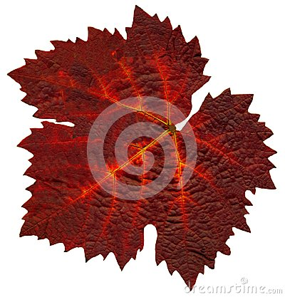 Wine_leaf_Fall0