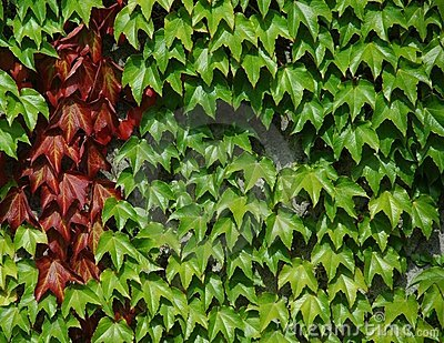 Wine Leaves on a wall