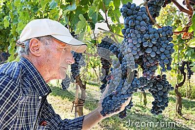 Wine maker checking grapes