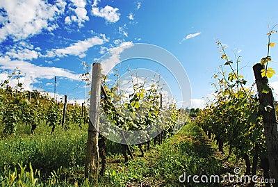 Vineyard in Monferrato, Piemonte, Italy