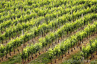 Wine rows