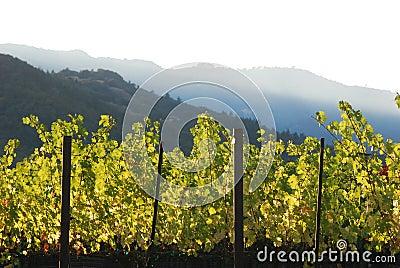 Wine vineyard in valley