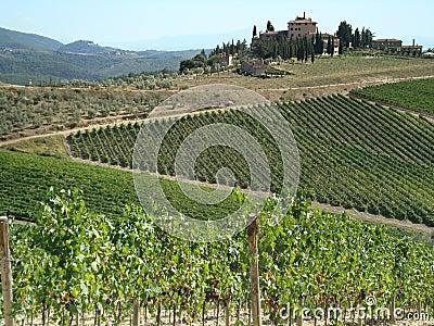 Wine-yards of Tuscany