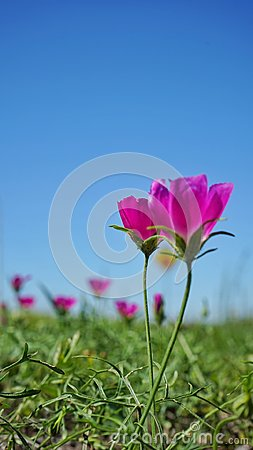 Free Winecup Flowers Royalty Free Stock Image - 116763446