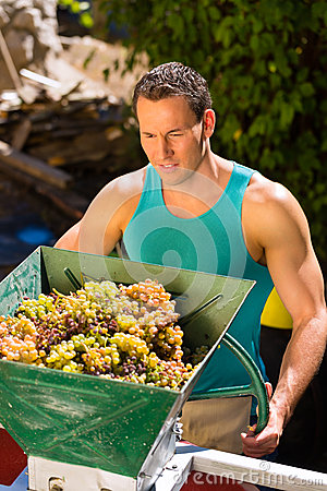 Winegrower working with grape harvesting machine