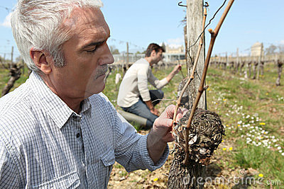Winegrowers pruning vines