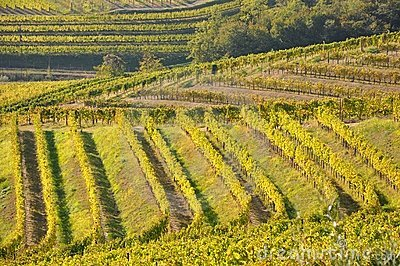 Winegrowing  in  Friuli Italy