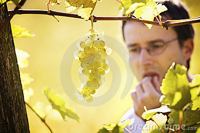 Winemaker tasting grapes in vineyard.
