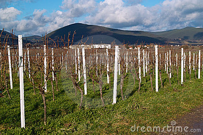 Wineyards in autumn