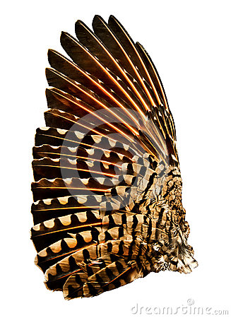 Free Wing Of Flicker Bird Stock Photography - 36116562