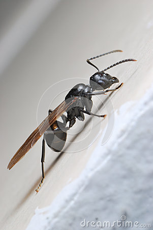 Winged Ant