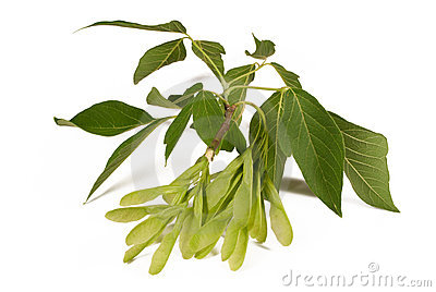 Winged Seed Pods And Leaves From A Maple Tree Stock