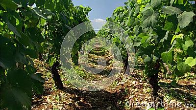 Winnica w Francja rzędach winogrona na winogradach zdjęcie wideo