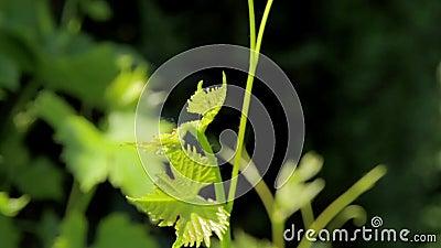Winograd roślina w świetle słonecznym zdjęcie wideo