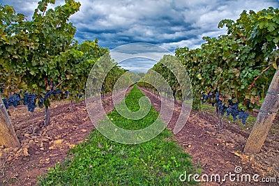 Winogrona na winogradzie