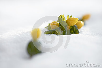 Winter aconite (Eranthis hyemalis)