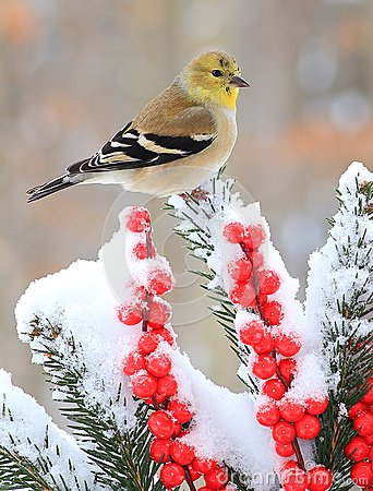 Free Winter American Goldfinch Stock Image - 70544991