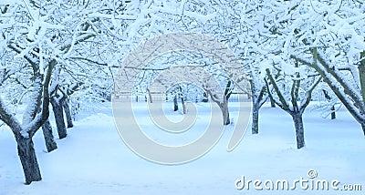 Winter apple tree  garden