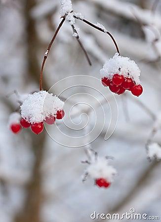 Winter arrowwood