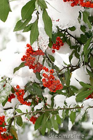 Free Winter Ashberry Stock Photo - 383190