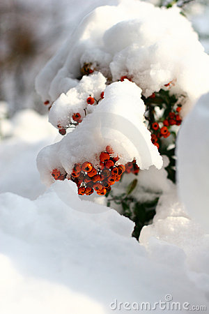 Free Winter Ashberry Stock Photography - 383192