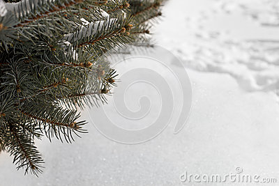 Winter background with a pine tree and snow