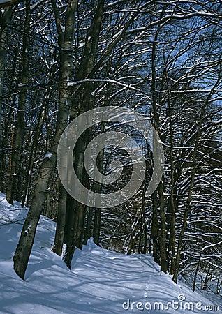 Winter beech forest walk