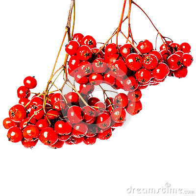 Free Winter Berry Branch With Red Holly Berries Hanging Isolated On W Royalty Free Stock Photos - 34803198