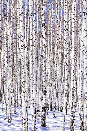 Free Winter Birch Forest Stock Photos - 17508273