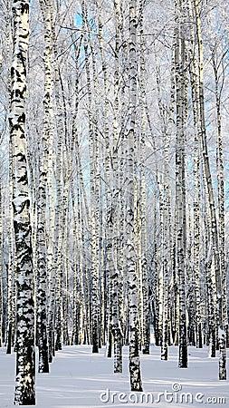 Free Winter Birchwood Royalty Free Stock Images - 38148589