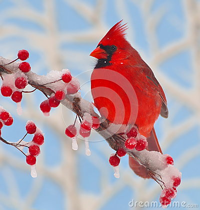 Free Winter Cardinal At Icy Berries. Royalty Free Stock Photo - 28996525