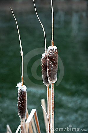 Winter Cattails with Snow Frost